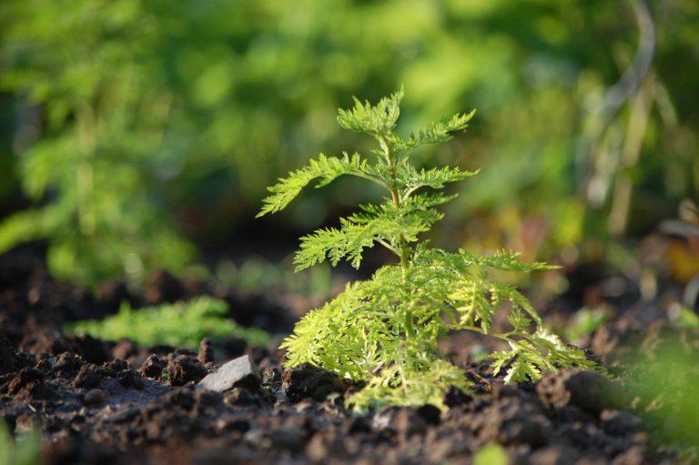 Einjähriger Beifuss. Artemisia annua L.
